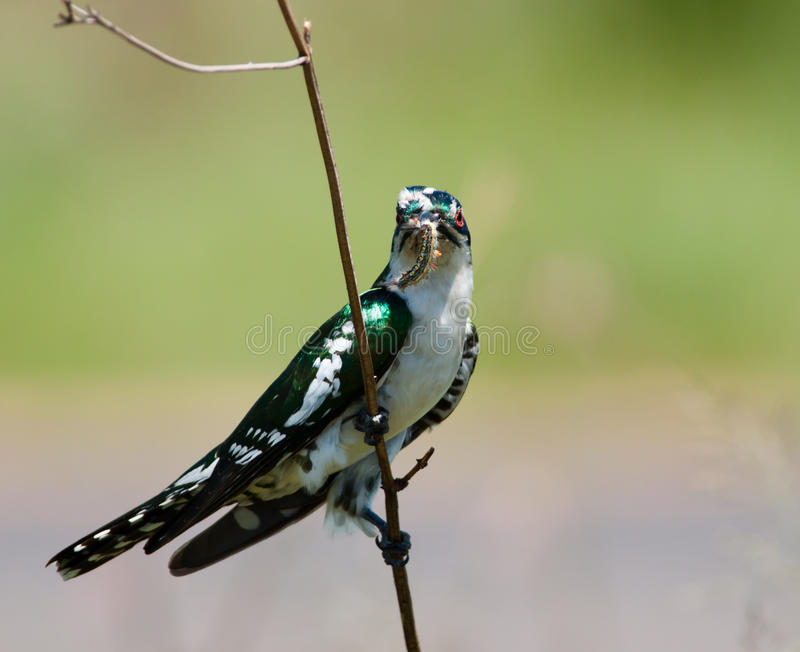 Diederick Cuckoo Gripping Twig Royalty Free Stock Photography