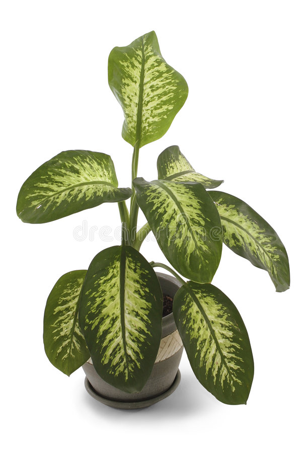 Download Dieffenbachia stock photo. Image of leaves, leaf, isolation - 519658