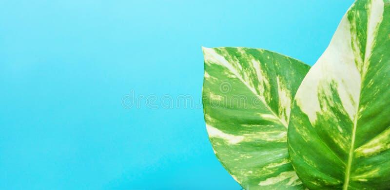 Dieffenbachia Cane Green Leaves mudo com os pontos brancos no fundo azul Cartaz de alta resolução longo da bandeira foto de stock royalty free