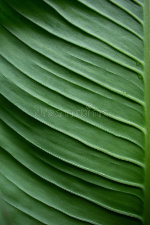 Dieffenbachia Green leaf stock photography