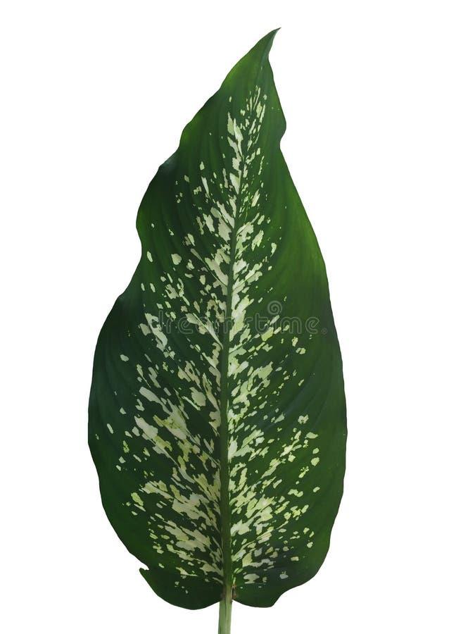 Dieffenbachia liść odizolowywający na białym tle fotografia stock