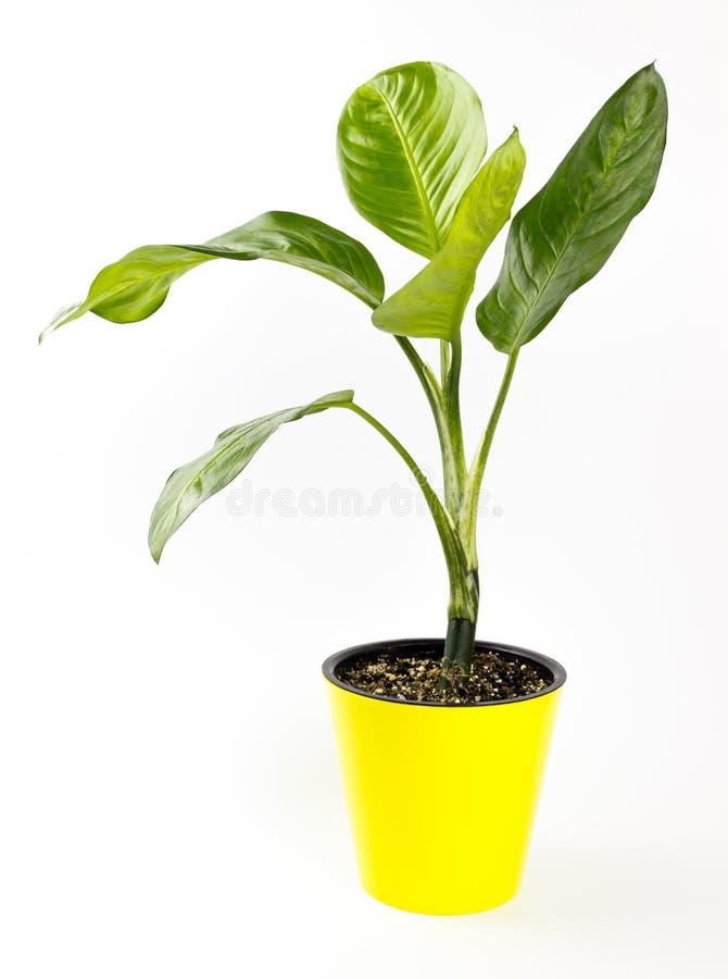 Dieffenbachia o dumbcane aislado en el fondo blanco en maceta imagen de archivo libre de regalías