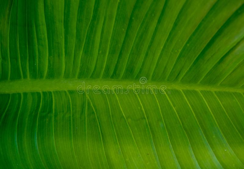 Dieffenbachia sp. Big leaf green detail texture background stock photography