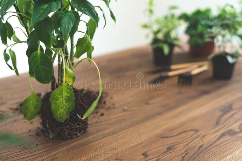 Dieffenbachia vert avec le système de racines dans le sol se tenant sur la table texturisée en bois avec l'espace de copie image stock