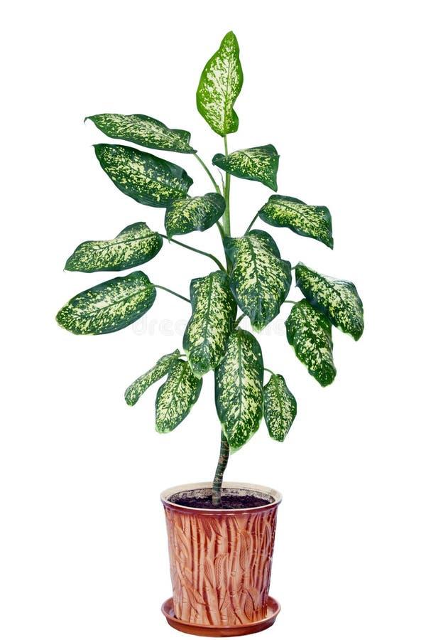 Dieffenbachia w flowerpot odizolowywającym na bielu obraz stock