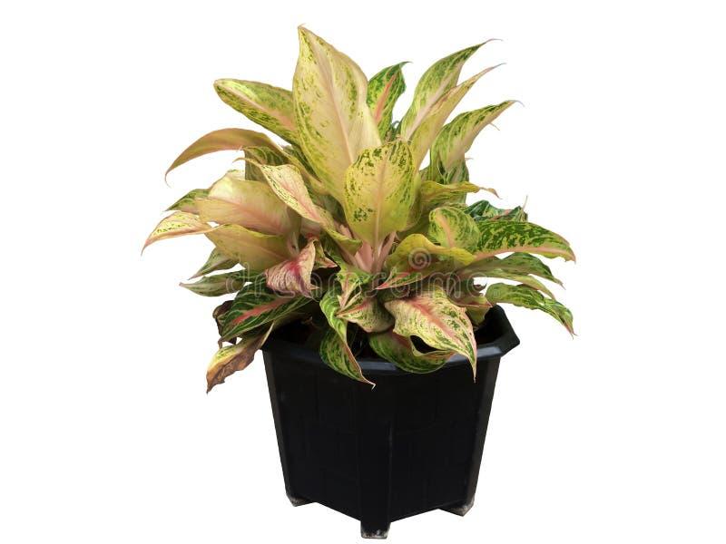 Dieffenbachia in zwarte plastic pot stock afbeelding