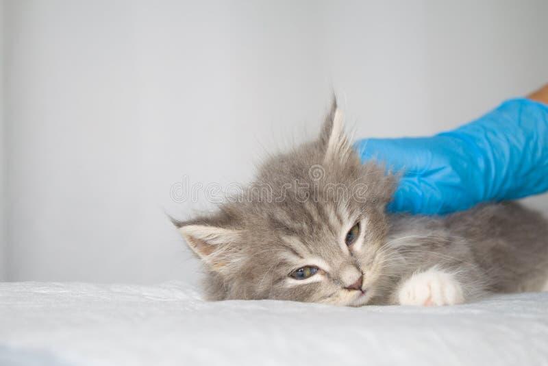 Dient de pluizige Maine wasbeer van Grey Persian Little kitte bij dierenartskliniek en blauwe handschoenen in De kat kijkt aan de stock foto