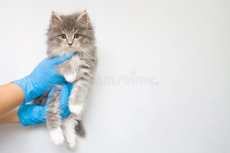 Dient de pluizige Maine wasbeer van Grey Persian Little kitte bij dierenartskliniek en blauwe handschoenen in De kat kijkt aan de royalty-vrije stock foto's
