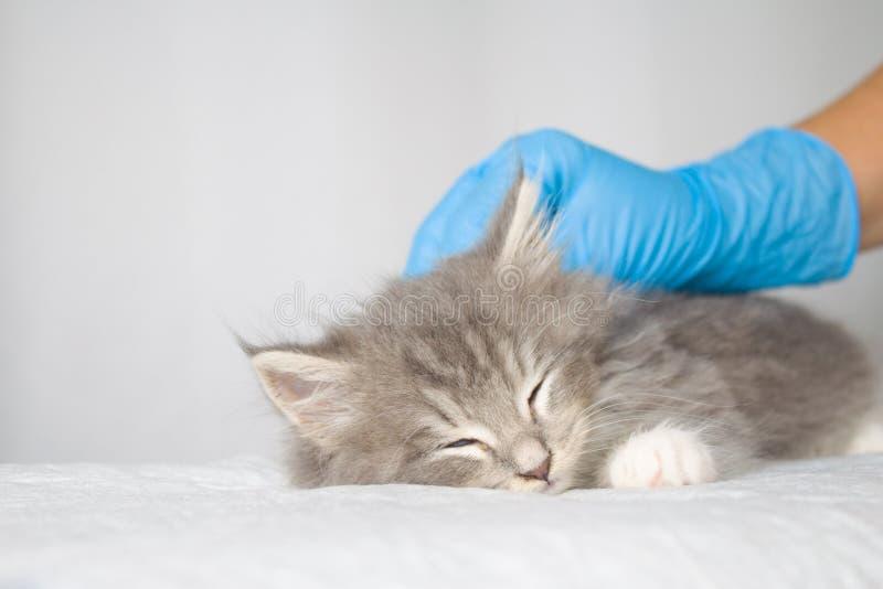 Dient de pluizige Maine wasbeer van Grey Persian Little kitte bij dierenartskliniek en blauwe handschoenen in De kat slaapt - Gen royalty-vrije stock foto