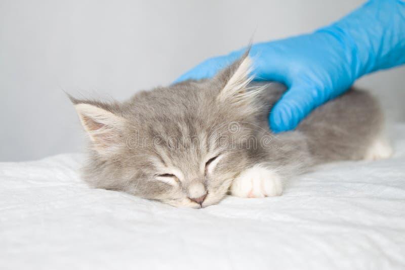 Dient de pluizige Maine wasbeer van Grey Persian Little kitte bij dierenartskliniek en blauwe handschoenen in De kat slaapt - Gen stock foto