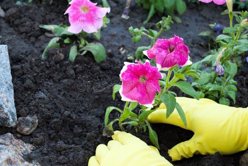 Dient gele rubberhandschoenen in houden een jong boompje van een roze petuniabloem, het de lentewerk planten het ter plaatse, het royalty-vrije stock afbeeldingen