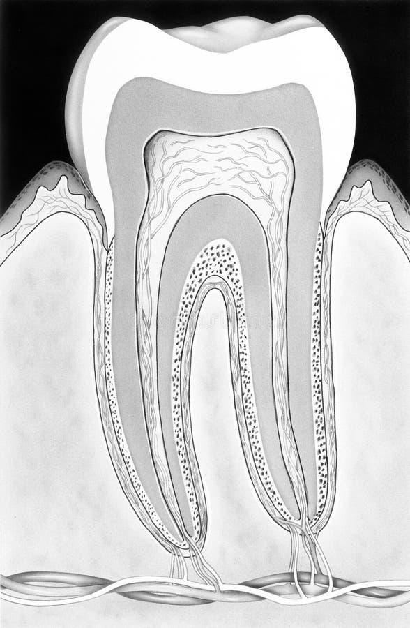 Diente - corte transversal in situ ilustración del vector