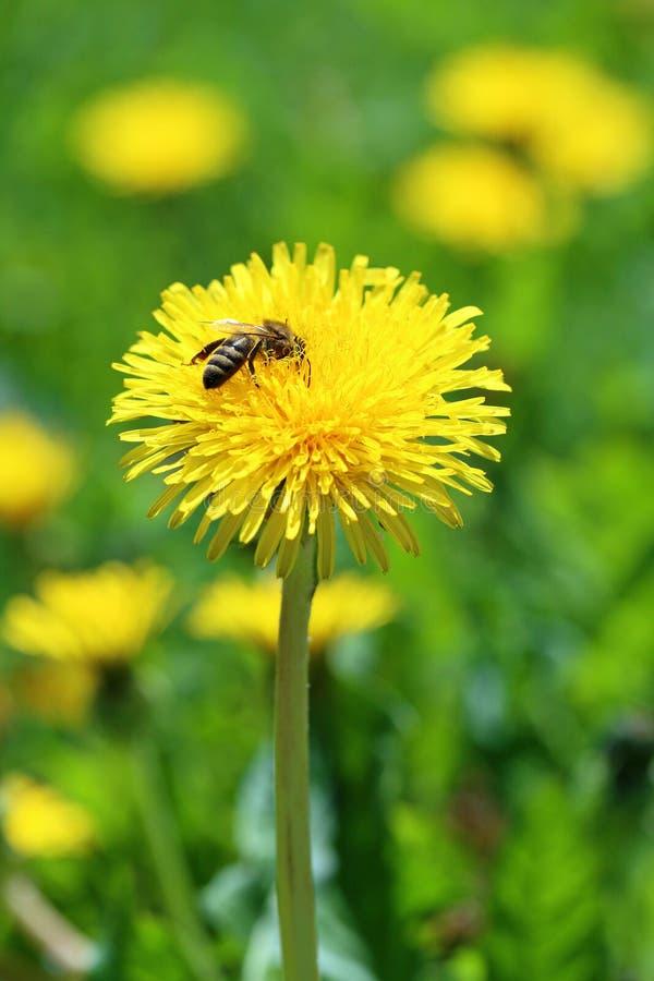 Download Diente de león foto de archivo. Imagen de abejas, fondo - 42445622