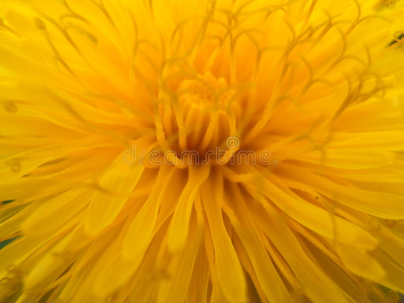 diente de león foto de archivo libre de regalías