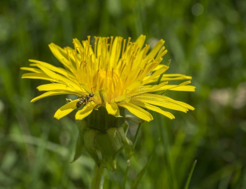 Diente de león amarillo ascendente cercano de la macro solo con la hormiga que sube en borrachín foto de archivo