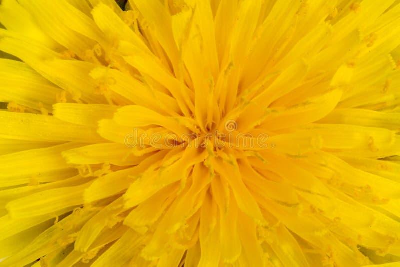 Diente de león amarillo brillante fotos de archivo libres de regalías