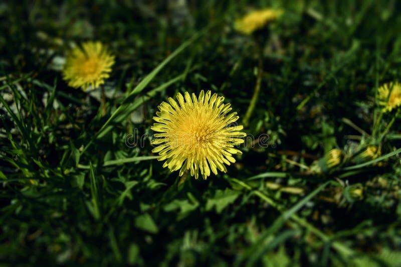 Diente de león amarillo de la primavera imagen de archivo