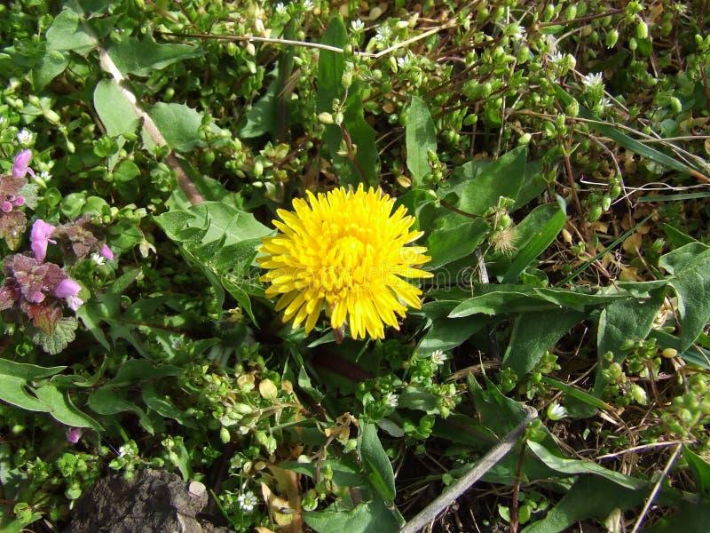 Diente de león amarillo en el jardín - officinale del Taraxacum foto de archivo libre de regalías