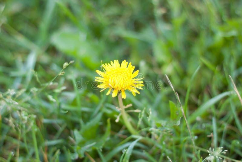 Diente de león amarillo en la hierba imagenes de archivo