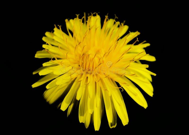Diente de león amarillo en un aislante negro del fondo fotografía de archivo libre de regalías