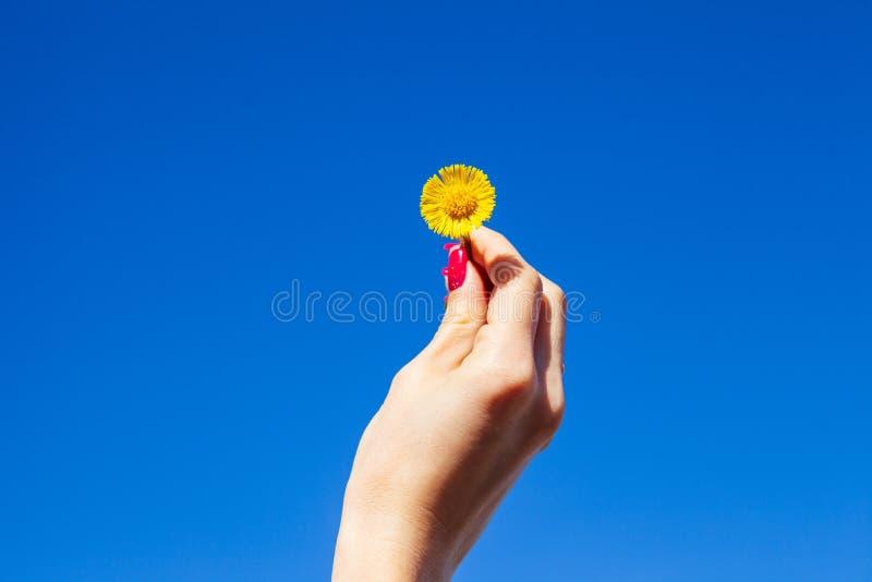 Diente de león amarillo en una mano femenina contra un cielo azul fotos de archivo libres de regalías