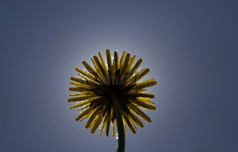 Diente de león amarillo de la primavera imagen de archivo libre de regalías