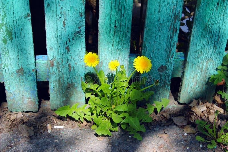 Diente de león amarillo tres sobre la cerca de madera verde vieja Background foto de archivo