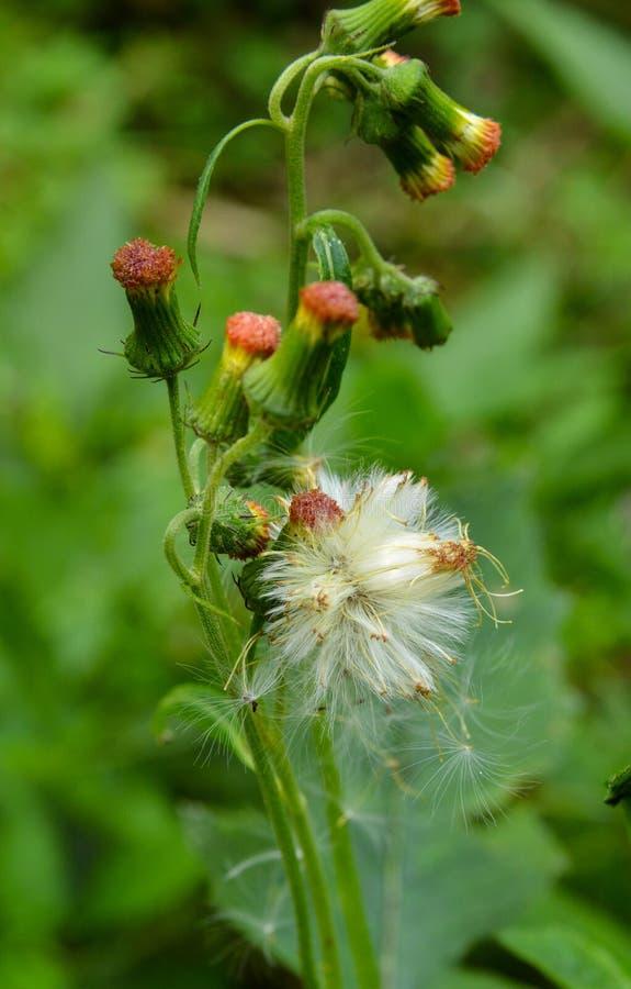 Diente de león blanco hermoso que florece entre las flores del brote fotos de archivo