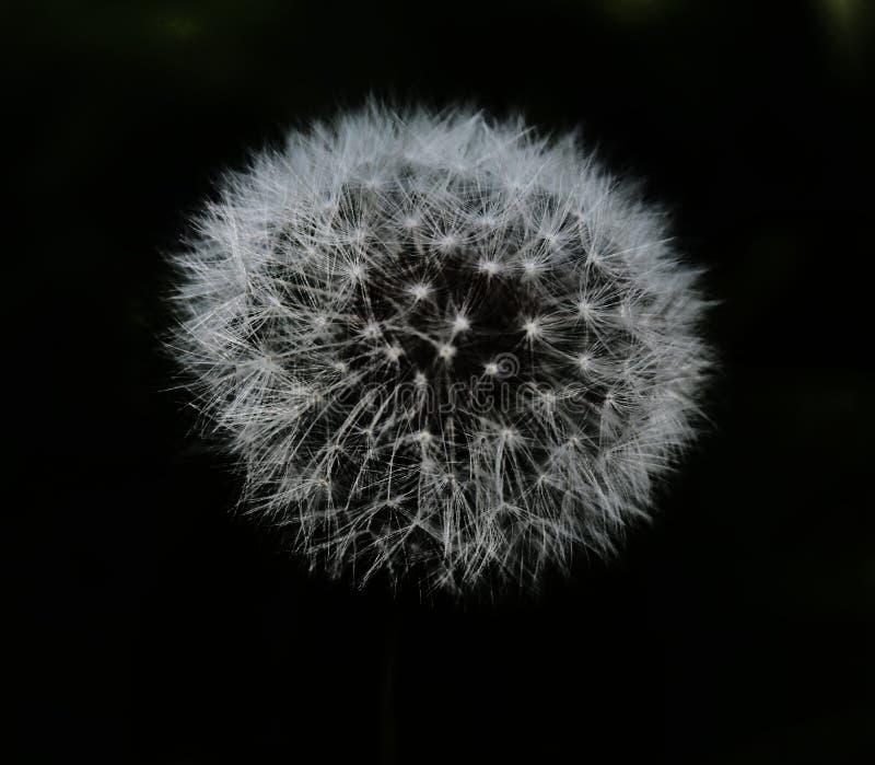 Diente de león blanco mullido de la flor en un aislante negro del fondo fotos de archivo libres de regalías