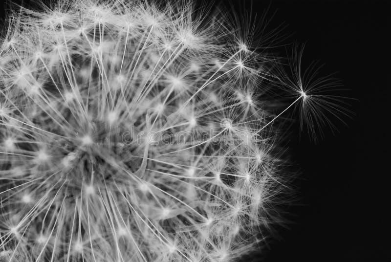 Diente de león blanco y negro fotos de archivo libres de regalías