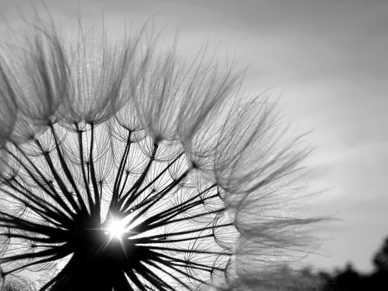 Diente de león blanco y negro en el sol foto de archivo