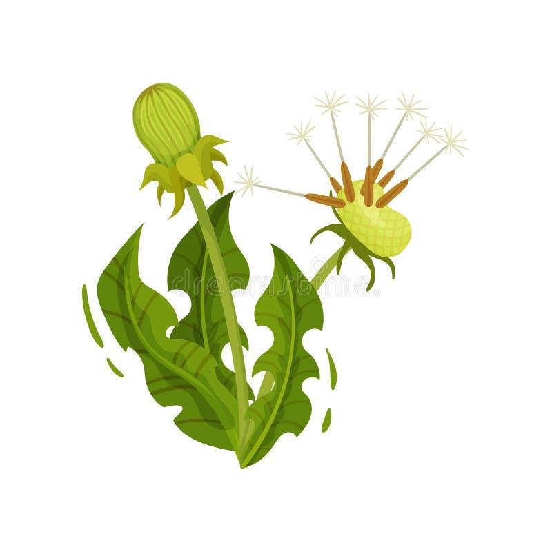 Diente de león con dos cabezas y hojas verdes Planta medicinal Hierba salvaje Tema de la naturaleza y de la flora Diseño plano de ilustración del vector