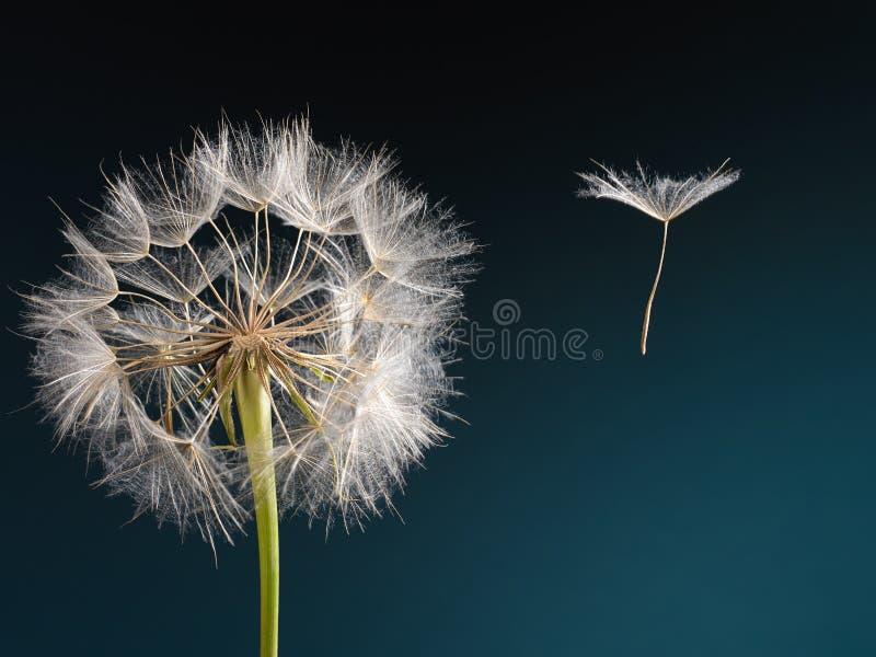 Diente de león con la semilla que sopla lejos en el viento fotografía de archivo