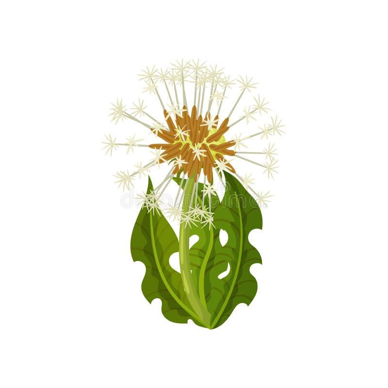 Diente de león con las hojas y las semillas verdes con los penachos suaves Flor del verano Planta silvestre Tema de la naturaleza stock de ilustración