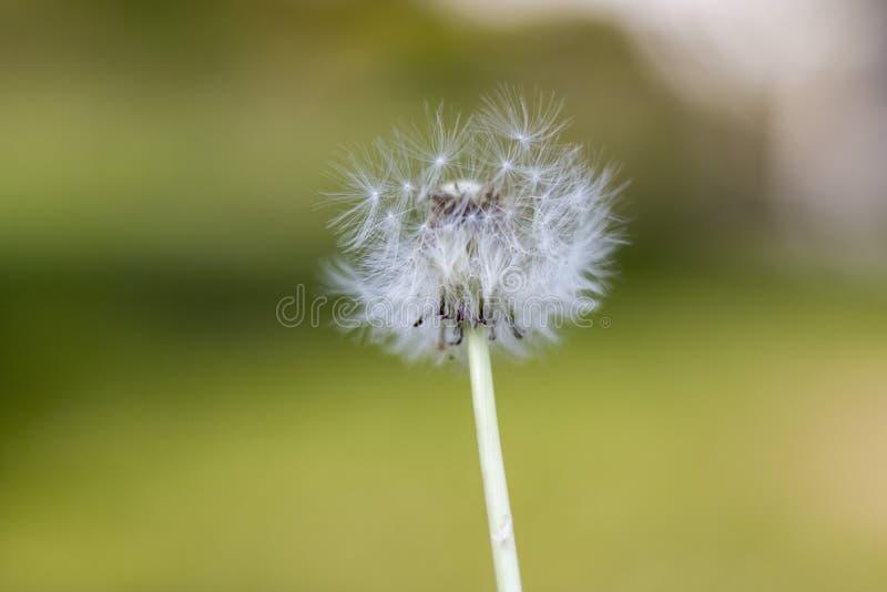 Diente de león con las semillas del vuelo, fondo natural imagenes de archivo