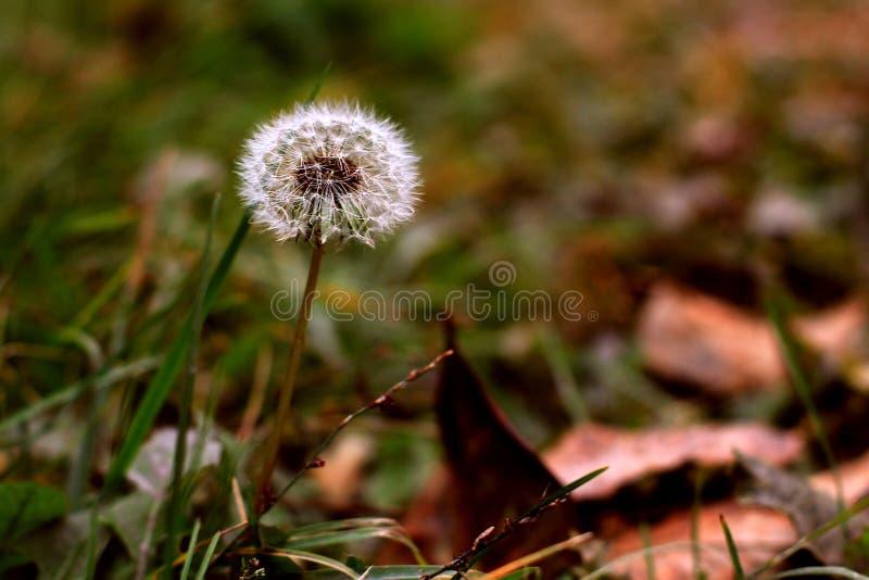 diente de león en el fondo de la lista del otoño fotografía de archivo libre de regalías