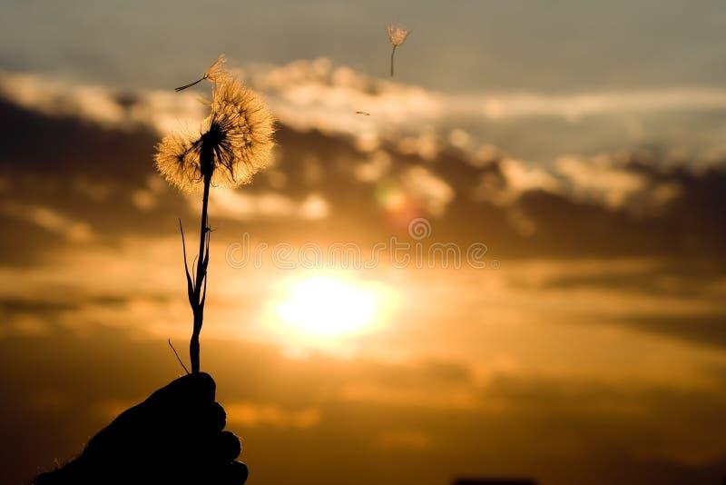 Diente de león en la puesta del sol foto de archivo libre de regalías