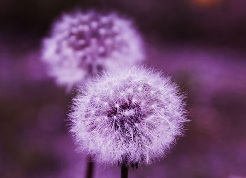 Diente de león en luz púrpura inusual foto de archivo libre de regalías