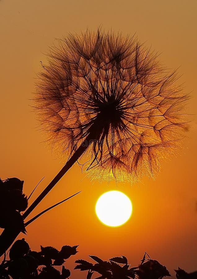 Diente de león en puesta del sol fotografía de archivo