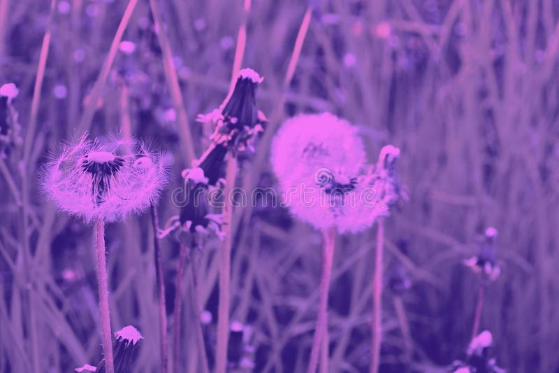 Diente de león en un prado del amanecer rosado maduro imágenes de archivo libres de regalías
