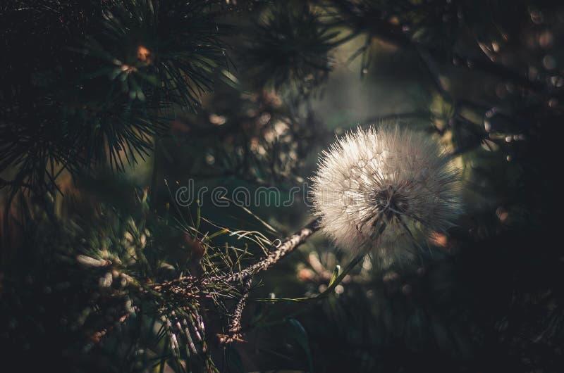 Diente de león grande de la flor llena blanca entre ramas del pino Sun que se enciende de detrás fotografía de archivo libre de regalías