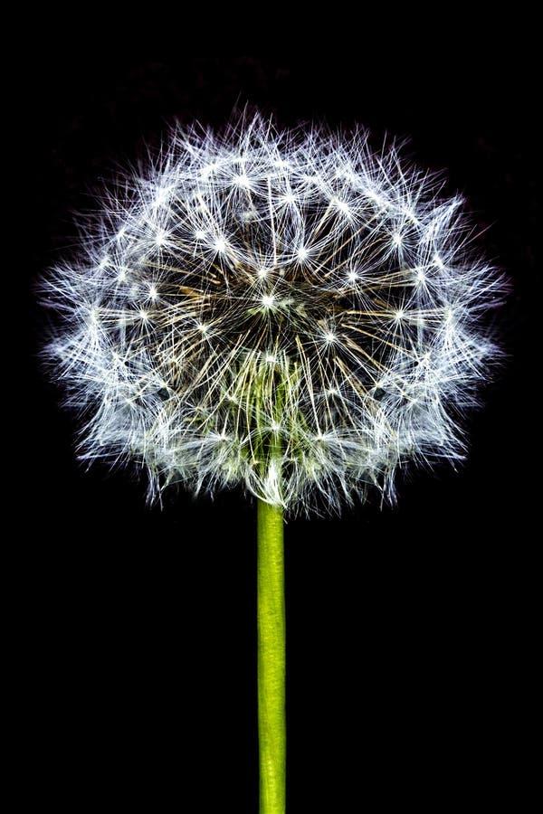 Diente de león de la floración que separa su semilla en el viento que sopla aislado en la flor negra del diente de león de la cab fotografía de archivo libre de regalías