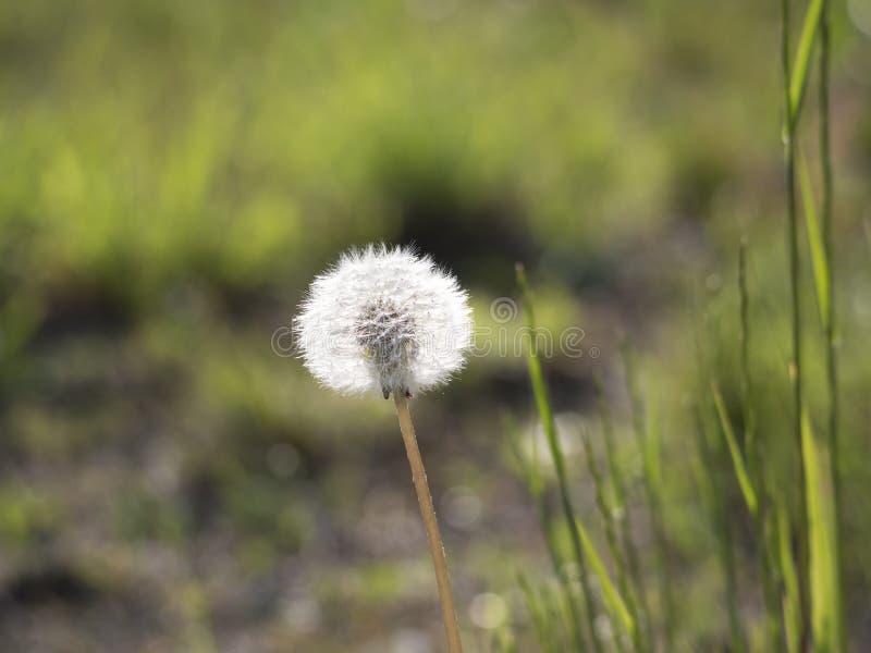 Diente de león marchitado con la paja de las semillas, del blowball y de la hierba en fondo verde hermoso del bokeh Taraxacum Off fotos de archivo libres de regalías
