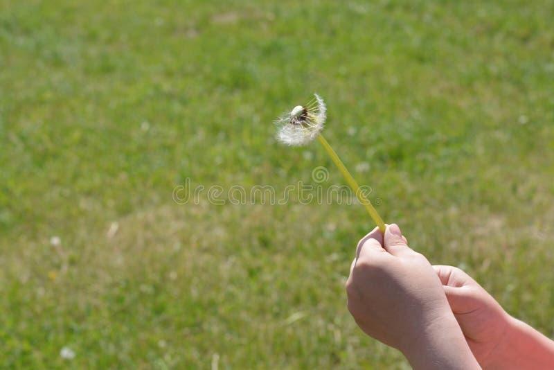 Diente de león mullido en el fondo de la hierba verde del niño de las manos imagen de archivo