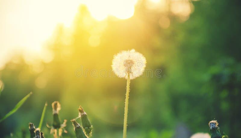 Diente de león mullido que crece en el jardín de la primavera iluminado por la luz de oro caliente del sol poniente en un fondo b foto de archivo libre de regalías