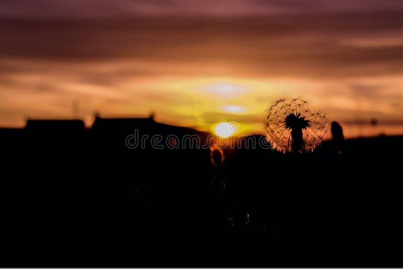 Diente de león que se coloca en la puesta del sol imponente imagen de archivo libre de regalías