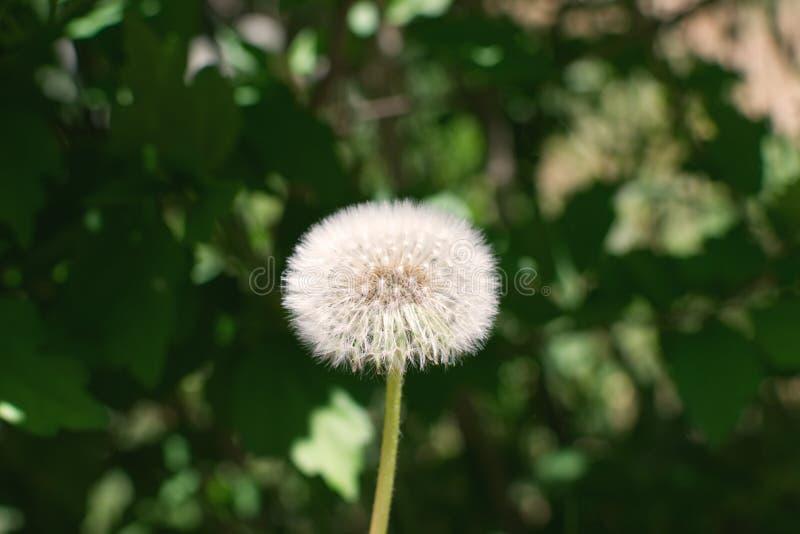 Diente de león, semillas listas para soplar en el viento imagen de archivo libre de regalías