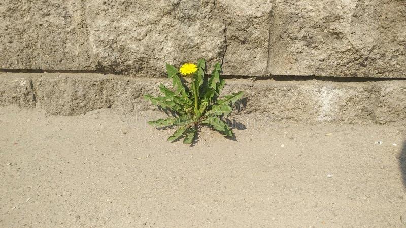 Diente de león solo en asfalto hierba en la ciudad imágenes de archivo libres de regalías