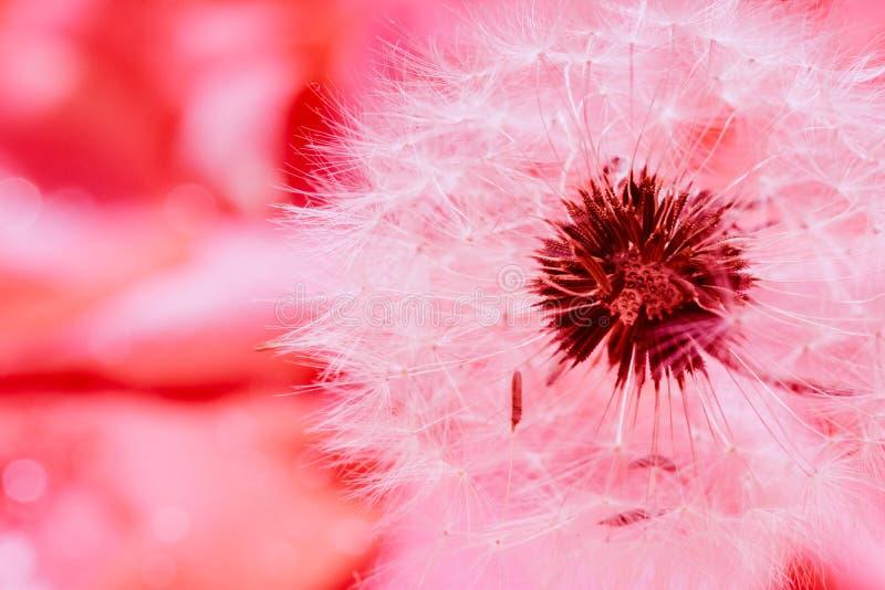 Diente de león y pétalos color de rosa rojos imágenes de archivo libres de regalías