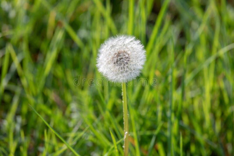 Diente de le?n con las semillas del vuelo, fondo natural imagen de archivo